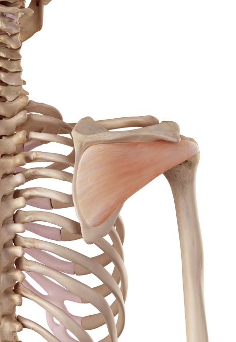 infraspinatus muscle anatomy